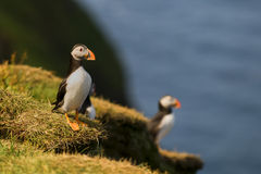 Two colorful Puffin in natural enviroment on blue background Royalty Free Stock Photo