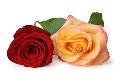 Two colorful Roses Rosaceae isolated on white background, including clipping path without shade. Germany Stock Images
