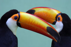 Two colorful toucans. A pair of toucans showing off their colorful bills Stock Photos