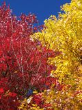Two Colorful Trees in the Fall Season. Two colors of leaves in autumn Stock Images
