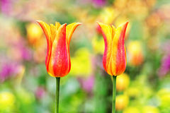 Two colorful tulips. With a blurred field of other flowers in background Stock Photo