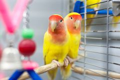 Two colorfull lovebirds. red and yellow colors. troplical pets.  stock photos