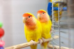 Two colorfull lovebirds. red and yellow colors. troplical pets.  stock image