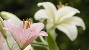 Two colors asian lily. Pink asian lily flower wet with rain in front of white flower stock video footage
