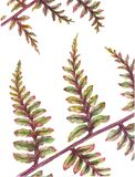 Two colors fern. Watercolor  fern fresh and colorful Royalty Free Stock Image
