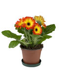 Two colors gerbera in a brown pot Stock Photos