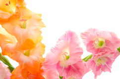 Two colors gladiolus flowers Stock Photo