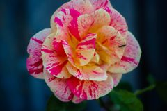 Two colors rose. Two color rose blooming Royalty Free Stock Photography