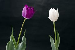 Tulip flowers. Two colors of tulip flowers in front of black background Stock Photo