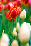 Two colors of tulips Royalty Free Stock Image