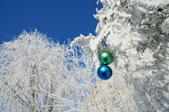 Two colour balls on a snow-covered tree Royalty Free Stock Photo