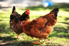 Two colour hens Stock Photography
