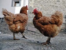 Two colour hens Stock Image