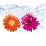 Two coloured daisies. Into the water on pure background Royalty Free Stock Image