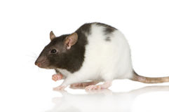Two-coloured panda rat. In front of a white background stock photo