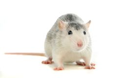 Two-coloured rat washing over white Royalty Free Stock Images
