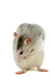 Two-coloured rat washing over white Royalty Free Stock Photo