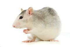 Two-coloured rat washing over white Stock Photography
