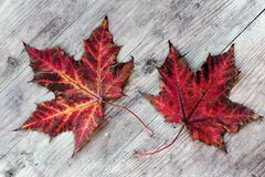 Two colourful autumn leaves on a wood substrate Stock Photo