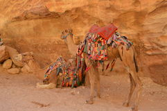 Free Two Colourful Camels In Petra Jordan Stock Photo - 45466950