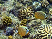 Two colourful fish feeding. Royalty Free Stock Image
