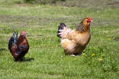 Chickens. Two colourful free range chickens strutting around royalty free stock images