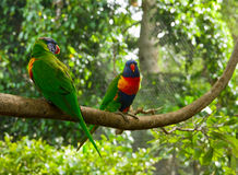 Two colourful lori parrots  on the perch Royalty Free Stock Photo