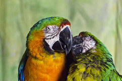 Two Colourful Macaw Parrots Kissing Royalty Free Stock Image