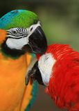 A  pair of macaw Stock Photos
