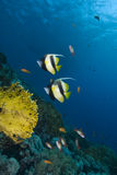 Two colourful tropical fish Royalty Free Stock Photography