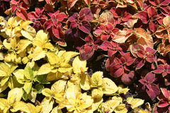 Two colours coleus plants in a bed. The red and yellow coleus plants in a bed royalty free stock photo