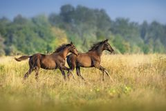 Foals run on pasture royalty free stock images