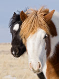 Two horse colts are buddies Stock Photos