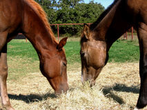 Two Colts Eating Hay. Weanling colts eating hay together on a sunny fall day, ranch in Texas Stock Photos