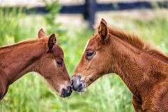 Two colts Royalty Free Stock Photo