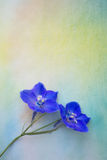 Two columbine flowers. Two blue columbine flowers isolated on watercolor painting Royalty Free Stock Photo