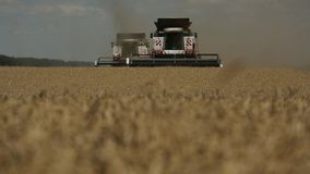 Two combines picking wheat ears stock video footage