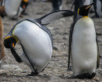 Two comical King penguins (Aptenodytes patagonicus) Royalty Free Stock Images