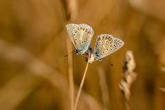 Two Common Blue Butterflies (polyommatus icarus) resting on a golden grass seed head in summer royalty free stock photo