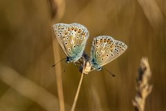 Two Common Blue butterflies polyommatus icarus resting on a gr stock photography