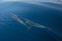 Two common bottlenosed dolphins swimming underwater near Santa Barbara off the California coast in USA. Two common bottlenosed dolphins swimming underwater near royalty free stock images