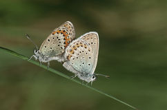 Two Common Buckeye butterflies mating side view Royalty Free Stock Photo