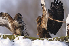Two common buzzard Buteo buteo birds with spread wings fighting on snow in winter on sunny day Stock Photography