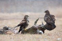 Two common buzzard (Buteo buteo) in winter, the meadow Stock Photo