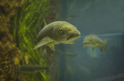 Two common carp Stock Photo