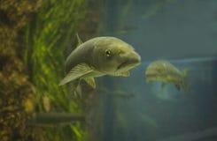 Two common carp Stock Photo