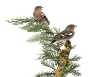 Two Common Chaffinch Males perched on a green branch Stock Images