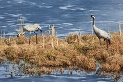Two common cranes walking on the grass in early spring Stock Images