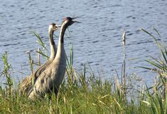 Two common cranes by water Stock Images