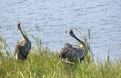 Two common cranes by water Royalty Free Stock Images